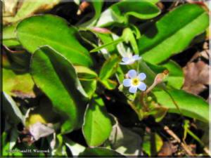 Apr03_NogawaPk_Trigonotis_peduncularis01aRC.jpg