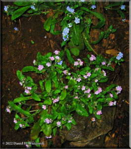 Apr05_Hikage_Omphaloides_japonica05a1RC.jpg
