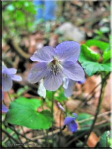 Apr07_Viola_grypoceras01aRC.jpg