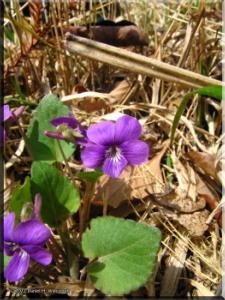 Apr10_Takao_Viola_phalacrocarpa02_BESTRC.jpg