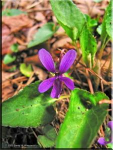 Apr11_Hikage_Viola_phalacrocarpa_f_glaberrima05aRC.jpg