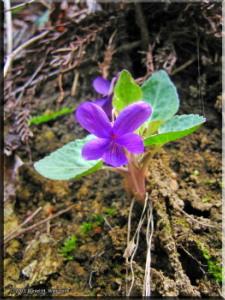 Apr11_Hikage_Viola_japonica.jpg