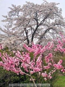 Apr1_MusashinoPk_Cherry_OrnamentalPeach05aRC.jpg
