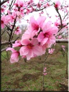 Apr1_MusashinoPk_OrnamentalPeach05RC.jpg