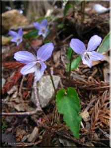 Apr26_Iwatakeishi_Viola_bisseti03RC.jpg