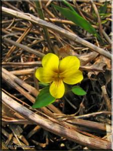 Apr28_Viola_orientalis05RC.jpg