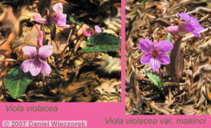 Viola_violacea_and_Viola_violacea_var_makinoi_CollageRC.jpg