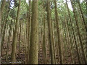 12Apr_Mazukari_CedarForest02RC.jpg