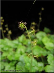 12Apr_Mazukari_Mitella_pauciflora02_BESTRC.jpg