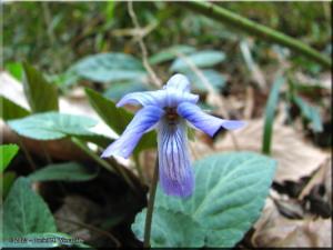 Apr05_AkigawaHills_Viola_japonica02RC.jpg