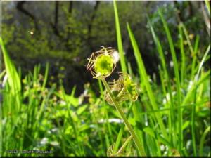 Apr06_Hikage_Mitella_pauciflora14RC.jpg