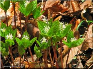 Apr06_Ogesawa_Chloranthus_japonicus01RC.jpg