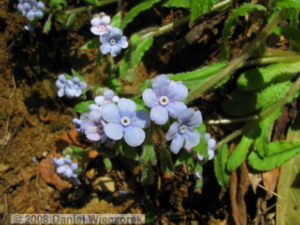 Apr06_Ogesawa_Omphalodes_japonicus24RC.jpg