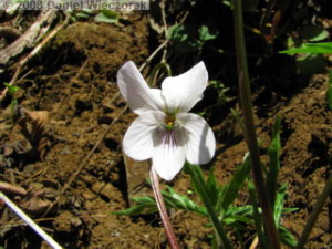 Apr06_Ogesawa_Viola_eizanensis16RC.jpg