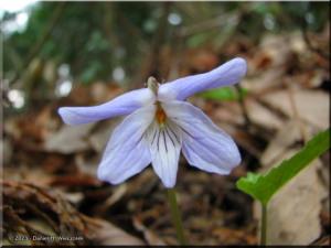 Apr12_Hinohara_Viola_bisseti10RC.jpg