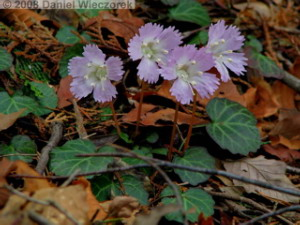 Apr12_Mazukari_Shortia_uniflora08seRC.jpg
