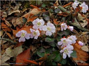 Apr12_Mazukari_Shortia_uniflora26sbRC.jpg