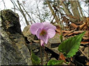 Apr12_Mazukari_Viola_rossi01RC.jpg
