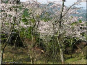 Apr15_ICchoDaira_Yamazakura04RC.jpg