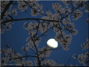 Apr15_ICchoDaira_Yamazakura_Moon05RC.jpg
