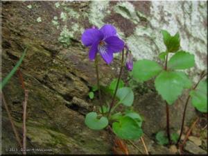 Apr16_Hikage_Viola_obtusa03RC.jpg