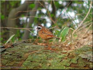 Apr16_Kobotoke_Sparrow03CropRC.jpg