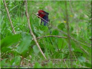 Apr19_FunjiNo_Pheasant14RC.jpg