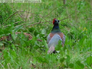 Apr19_FunjiNo_Pheasants12RC.jpg