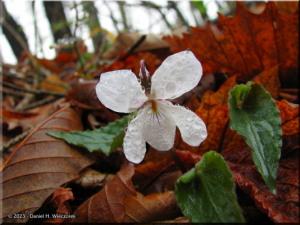 Apr26_Sougaku_Viola_rossi_x_Viola_bisseti03RC.jpg