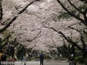 Apr05_ICU_19_CherryBlossomsRC.jpg