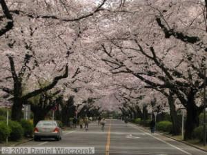 Apr05_ICU_25_CherryBlossomsRC.jpg