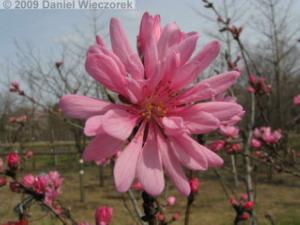 Apr05_MusashinoPk13_Flowering_PeachRC.jpg