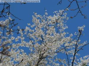 Apr10_TakaoSciGar14_CherryBlossomsRC.jpg