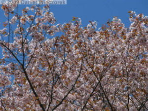 Apr10_TakaoSciGar36_CherryBlossomsRC.jpg