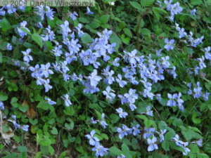 Apr10_TakaoSciGar67_Viola_grypocerasRC.jpg