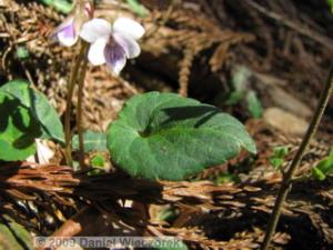 Apr11_Takamizu002_Viola_sieboldiRC.jpg
