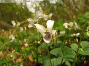 Apr12_AkigawaHills_125_Viola_verecundaRC.jpg