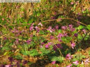 Apr18_MtKakuda146_Erythronium_japonicumRC.jpg