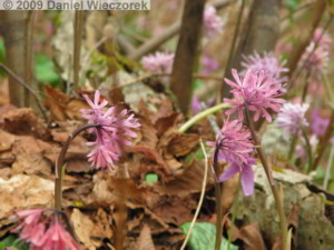 Apr_17_MtKakuda083_Heloniopsis_orientalisRC.jpg