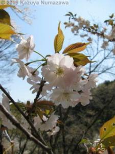 April10th_TamaForestScienceGarden040_CherryBlossomsRC.jpg