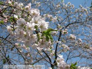 April10th_TamaForestScienceGarden114_CherryBlossomsRC.jpg