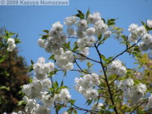 April10th_TamaForestScienceGarden175_CherryBlossomsRC.jpg