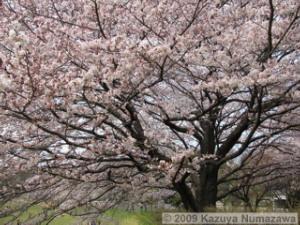 April5th_Nogawa_MusashinoPark15_CherryBlossomsRC.jpg