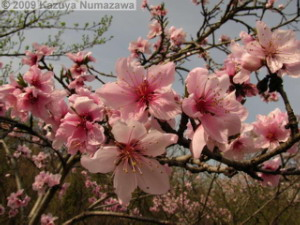 April5th_Nogawa_MusashinoPark37_FloweringPeachRC.jpg