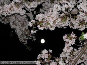 April8th_MitakaNightCherry04RC.jpg
