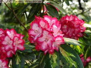 Apr17_JindaiBG_066_RhododendronRC