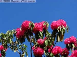 Apr17_JindaiBG_075_RhododendronRC