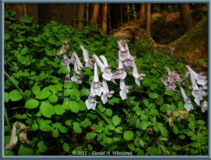 Apr02_102_Trail_Corydalis_linearilobaRC