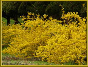 Apr09_05_ICU_ForsythiaRC