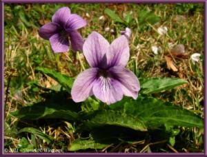 Apr10_KoishikawaBotGar_029_Viola_yedoensisRC